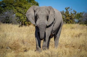 Afrikanischer Elefant / Etosha Nationalpark, Namibia