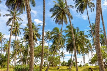 Coconut palms in the tropic