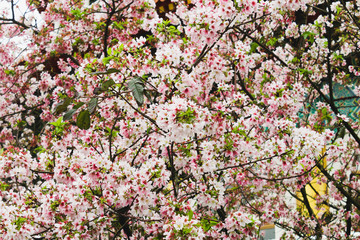 Closeup Group White and Pink Beautiful cherry blossom sakura pink and white in Tianyuan Temple,Taiwan