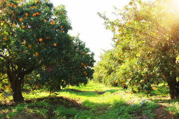 Rural landscape image of orange trees in the citrus plantation.