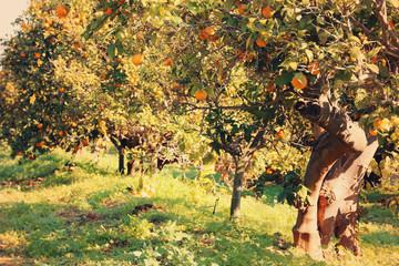 Rural landscape image of orange trees in the citrus plantation. Vintage filtered.