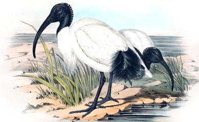 Ilustracja kiwi - 187207110