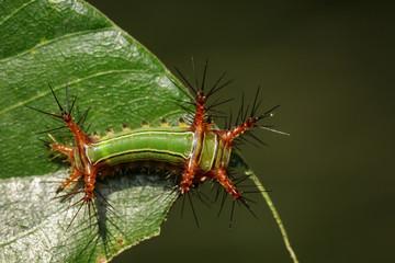"Image of Stinging Nettle Slug Caterpillar (Cup Moth, Limacodidae) ""Green Marauder"" on green leaves. Insect. Worm. Animal."