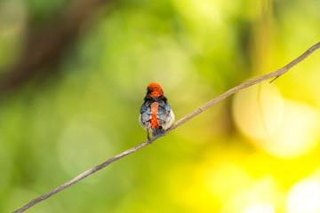 Bird (Scarlet-backed Flowerpecker) in nature wild