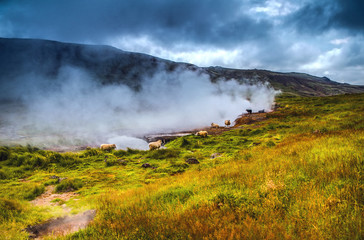 Scenic Icelandic meadows with sheep and rams in landscape fields.