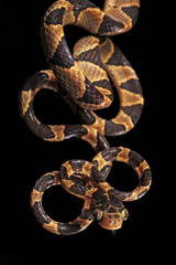 Riemennatter (Imantodes cenchoa) - blunthead tree snake / Honduras