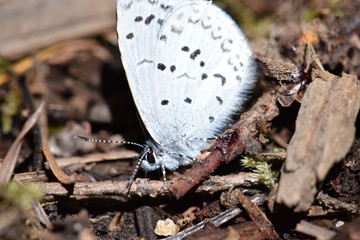 Blue Dotted Moth Macro 01