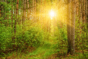 Summer green forest with sun shining, natural outdoor seasonal background.