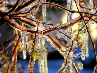 Iced Plant