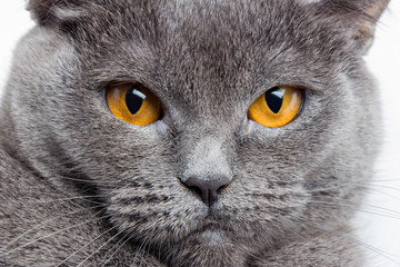 Serious British Gray Cat Closeup