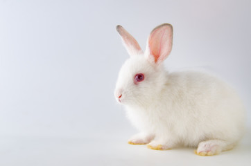 White rabbit in easter animal concept