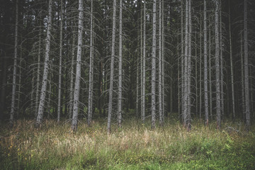 Spooky dark forest with tall withered trees