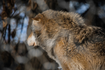 portrait of a beautiful furry siberian wolf