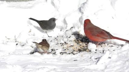 Fotoväggar - Male Northern Cardinal (cardinalis cardinalis) and other birds eating seed in snow