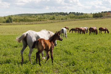 Horses on a green field / Mare and Her Foal