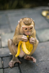 Monkey is eating banana. Thailand, Phuket, Monkey hill.