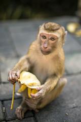 Monkey is eating banana. Thailand, Phuket, Monkey hill.