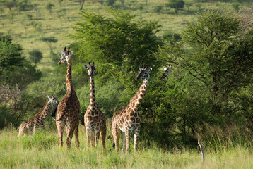 Herd of Giraffes in Serengeti national park tanzania