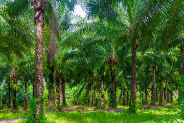 low lush palm trees grow on a coconut farm in Thailand