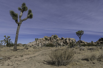 the Mojave desert and Joshua trees in Joshua Tree National Park
