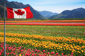 Tulip fields in Canada with the Rocky mountains in the background and a Canadian flag in the foreground.