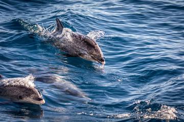 Atlantic spotted dolphins, Stenella frontalis, in the Atlantic ocean near Gran Canaria.