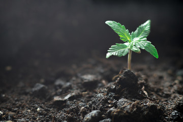 Poster Vegetal A small plant of cannabis seedlings at the stage of vegetation planted in the soil in the sun, a beautiful background, eceptions of cultivation in an indoor marijuana for medical purposes
