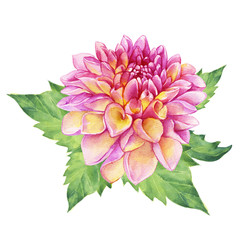 Beautiful pink Dahlia flower. Garden closeup dahlia flower. For wedding, invitation, Valentine's Day, Mother's Day. Watercolor hand drawn painting illustration isolated on white background.