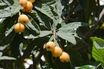 Maltese plums on a tree