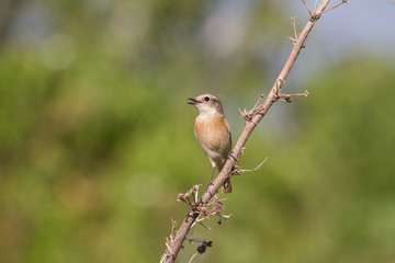beautiful female Eastern Stonechat in nature