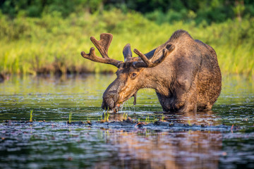 A bull moose eating lily pads in the lake in early morning. Shot in Algonquin Provincial Park, Ontario, Canada.