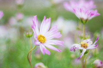 Pink cosmos with beauty.