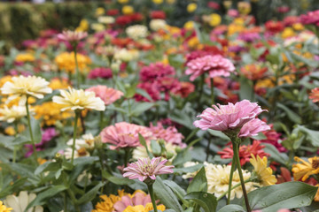 Many chrysanthemums in the flower garden