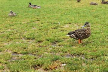 Ducks relaxing on lawn