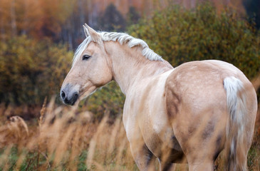 Portrait of a beautiful Palomino horse
