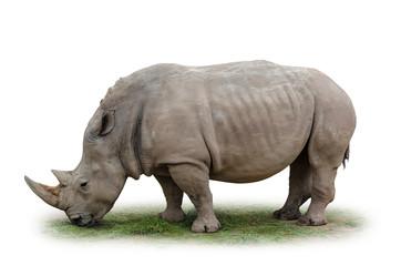 Nashorn freigestellt