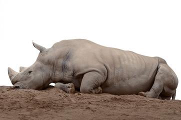 Nashorn liegend freigestellt