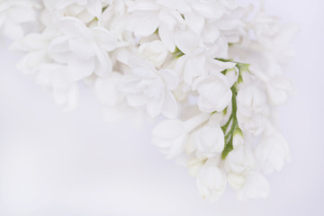 Lilac flowers. white lilac on a light background.