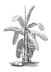 Banana tree botanical hand drawing vintage clip art
