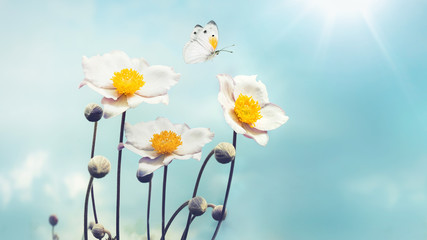 Beautiful white Japanese anemones and flying butterfly on a blue sky background in the spring sun on nature close-up macro in gentle pastel vintage tones. Free space for text.