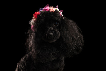 adorable black poodle wearing coloured flowers crown