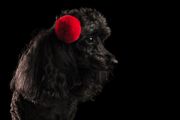 profile view of a poodle's head wearing earmuffs