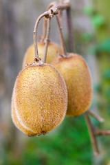 Close-up of kiwi fruits on kiwi plantation in Casas del Puente, Asturias, Spain