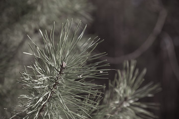 Green branch of a fir with young needles. Shallow depth of field. Selective focus. Toned