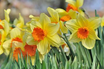 close on beautiful daffodils  in garden