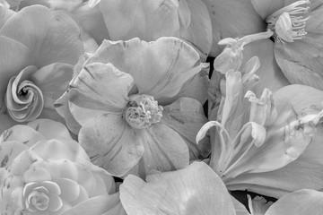 Fine art still life floral monochrome macro of a collage bouquet of blooming camellia blossoms with detailed texture seen from the top