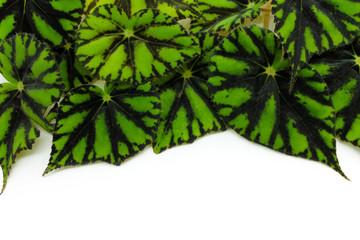 Begonias green leaf isolated on white background.