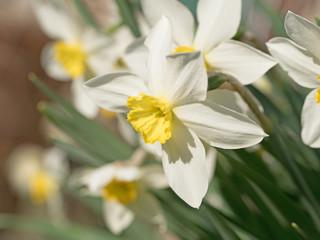 Narzissen, Narcissus, Osterglocken