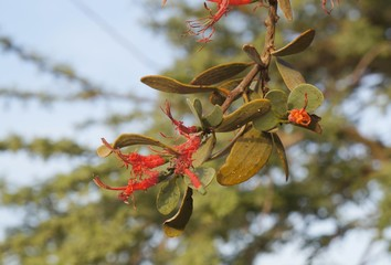 Loranthus acaciae, red parasitic desert flowers, sunset time