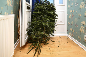 Woman taking a used Christmas tree out of a front house door on twelfth night in the new year